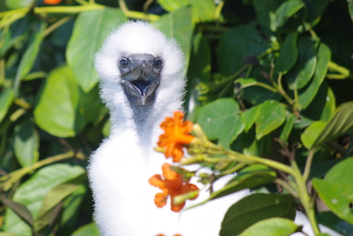 Baby booby at Half Moon Caye
