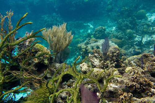 Coral at the Blue Hole Belize