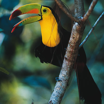 The Keel Billed Toucan is Not
