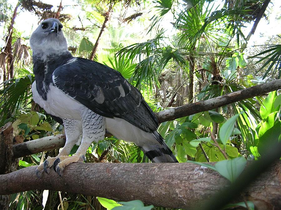 Harpy eagle hunting monkey - photo#41
