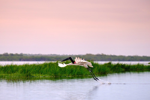 Jabiru Stork at Crooked Tree Belize