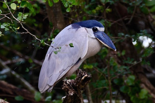 Boat Billed Heron Belize