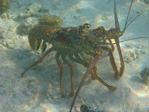 The Caribbean Spiny Lobster Belize