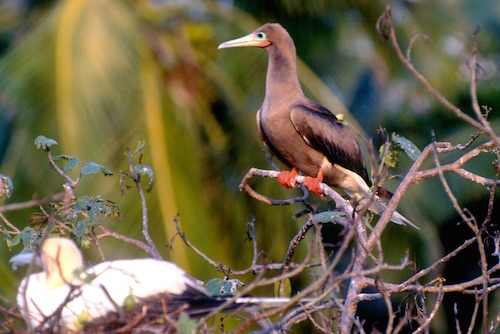 Red Footed Booby at Half Moon Caye, Belize