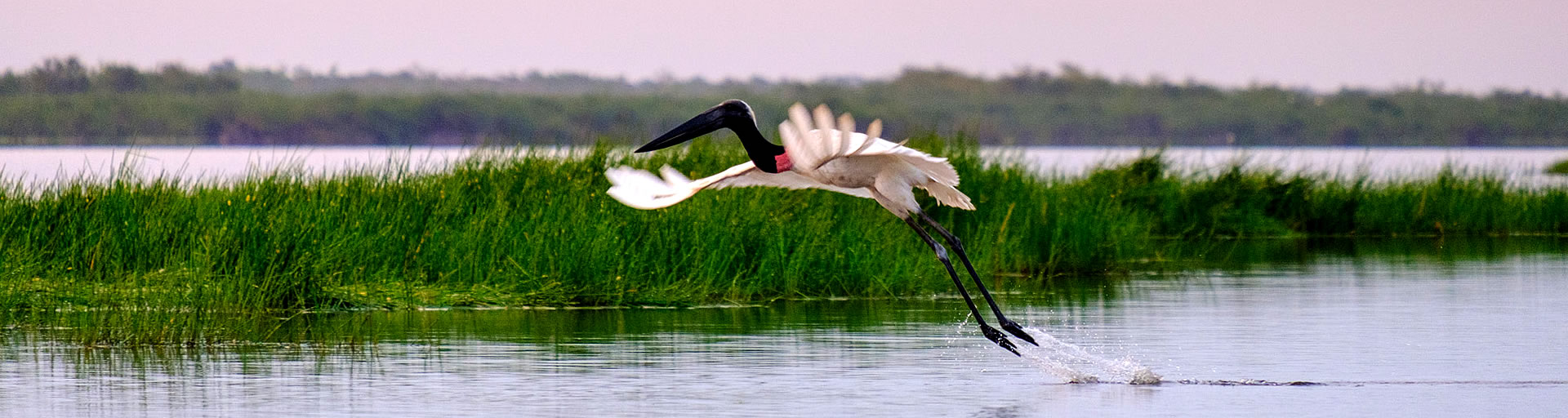 Jabiru Stork in Crooked Tree Lagoon