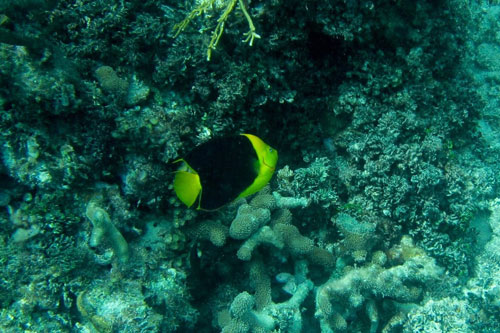 Rock Beauty, one of the four species of angelfish at the Blue Hole