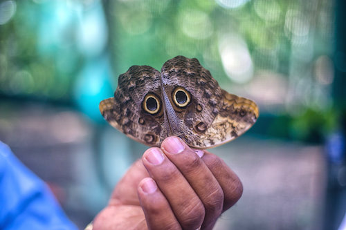 Owl Butterfly Belize