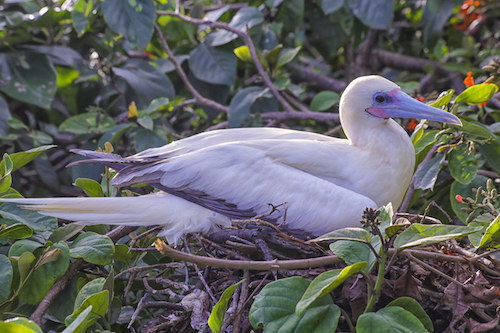 Red Footed Booby Belize