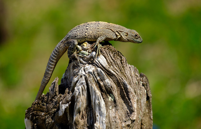 Iguana on the banks of the Monkey River