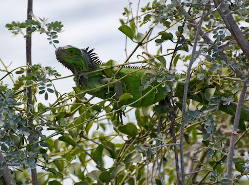 Green Iguana Conservation Project Belize
