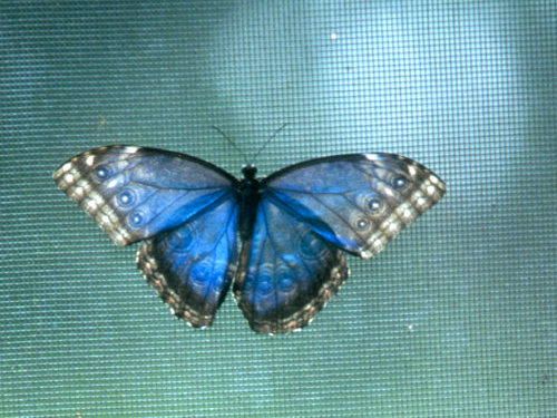 The Blue Morpho Butterfly Farm at Chaa Creek