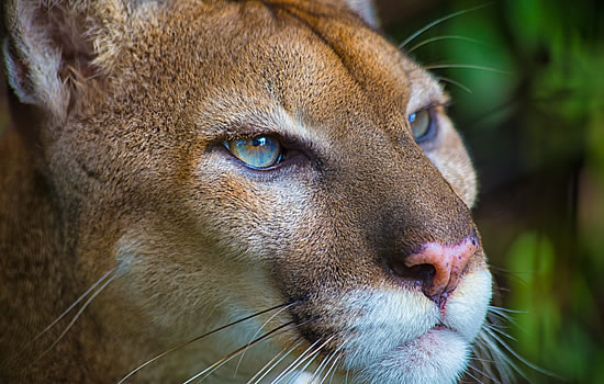 Puma of Belize