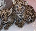 This Dec. 16, 2012 photo shows two baby jaguar cubs born at the Milwaukee County Zoo in November. Jaguars are an endangered species. Stacy Johnson, coordinator of the jaguar species survival plan for the American Zoo and Aquarium Association, said heir birth was a big deal because their father was born in the wild and brings new genes to zoos.
