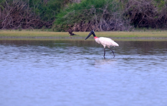 Jabiru Stork at Crooked Tree Lagoons
