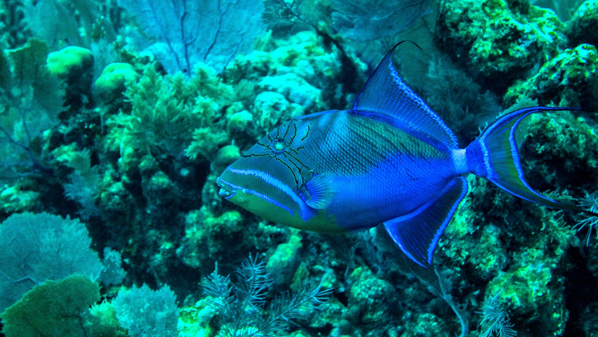 Queen Angelfish on the Belize Barrier Reef