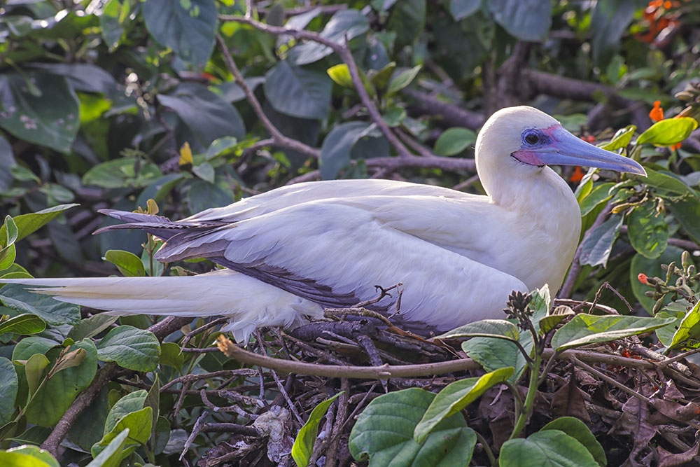 Red-footed booby colony on Half Moon Caye